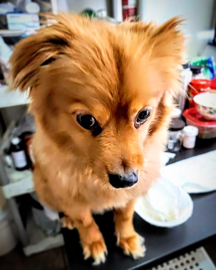 What are you doing over here?  [We love our Bud...]   #dogsofinstagram #dogs #dogstagram #dog #animal #pomeranian #pomchi #pom ##wolf #animals #pets #petstagram #petsofinstagram #pet #buddydog #buddy #buddythedog #buddythepom #buddythepomchi #buddythepomeranianpic.twitter.com/JJ7FRvAbFf