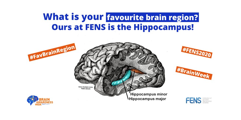 My #FavBrainRegion are the Islands of Calleja bc we understand so little of them and how neurogenesis contributes to their function. #FENS2020 #BrainWeek How about you @Jinte @CactusFrankS @ForsbergNilsson