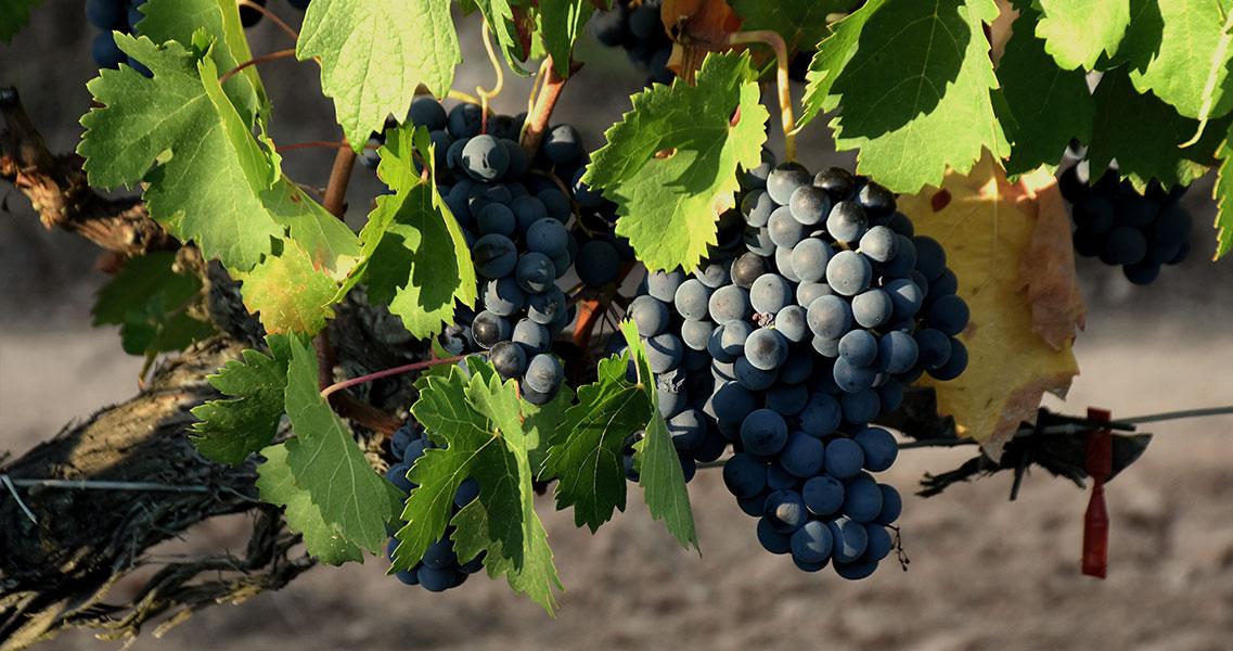 ¿Conoces el origen de la uva tempranillo? ¡Descúbrelo en nuestra Escuela de Vino! maset.com/es/blog/la-uva…