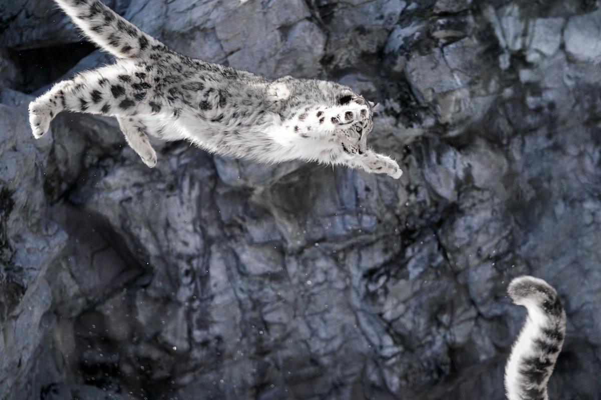 旭山動物園のユキヒョウのユーリちゃん。思いっきりがいいジャンプで、お母さんめがけてジャンプを繰り返してました。 #ユキヒョウ #旭山動物園
