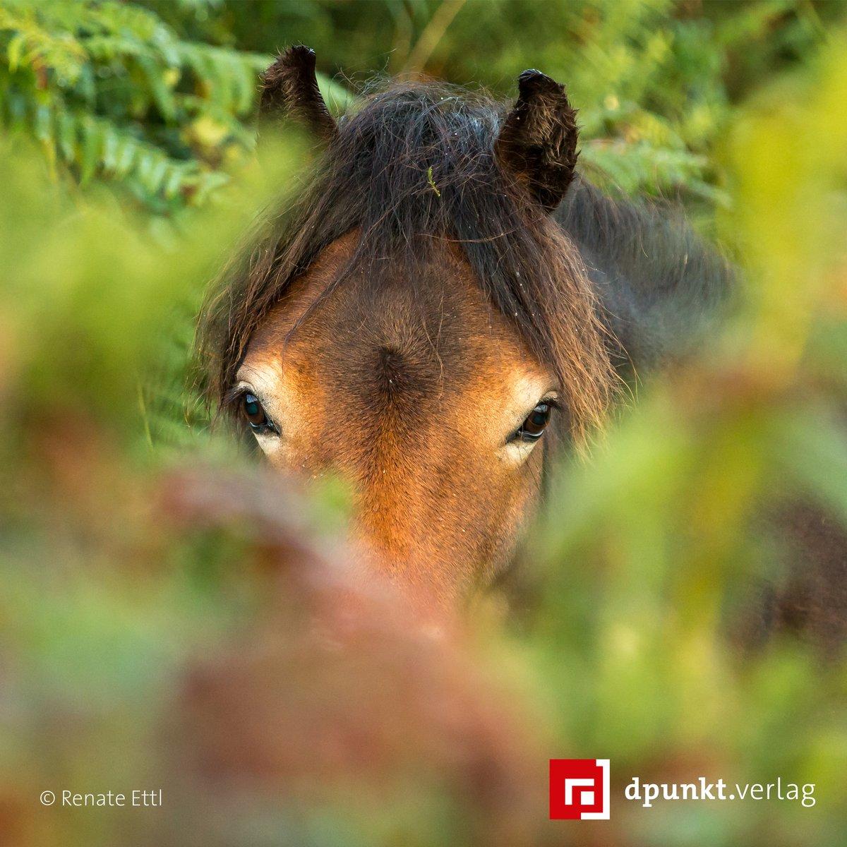#Exmoorpony im Exmoor National Park, England. In meterhohen, dunklen Farnwäldern in der Gegend um Porlock Hill können sich die wildlebenden Exmoorponys vor allzu neugierigen Blicken gut verstecken. Mehr dazu in »Kreative Pferdefotografie«. #kreativ #tierfotografie #lesetipppic.twitter.com/mJ7JvyxLvO