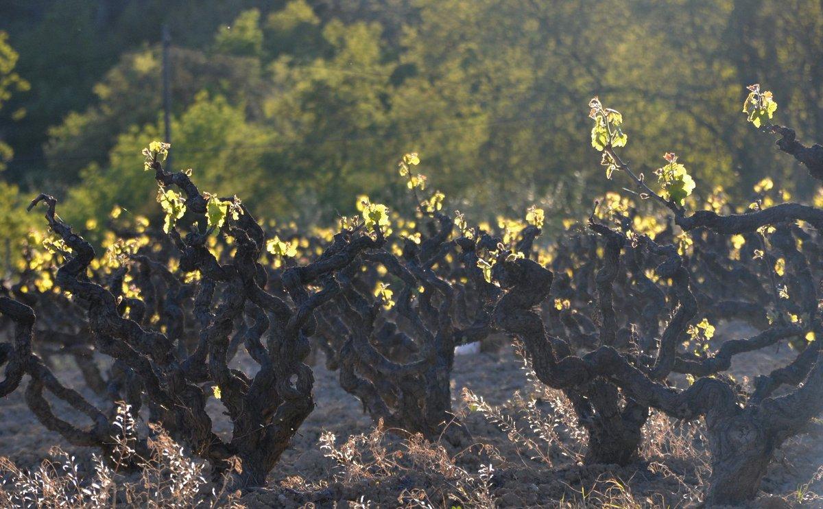 Benvinguts al despertar de la vinya! Coneix què és el desborrament a la nostra Escola de Vi! maset.com/ca/blog/el-des…