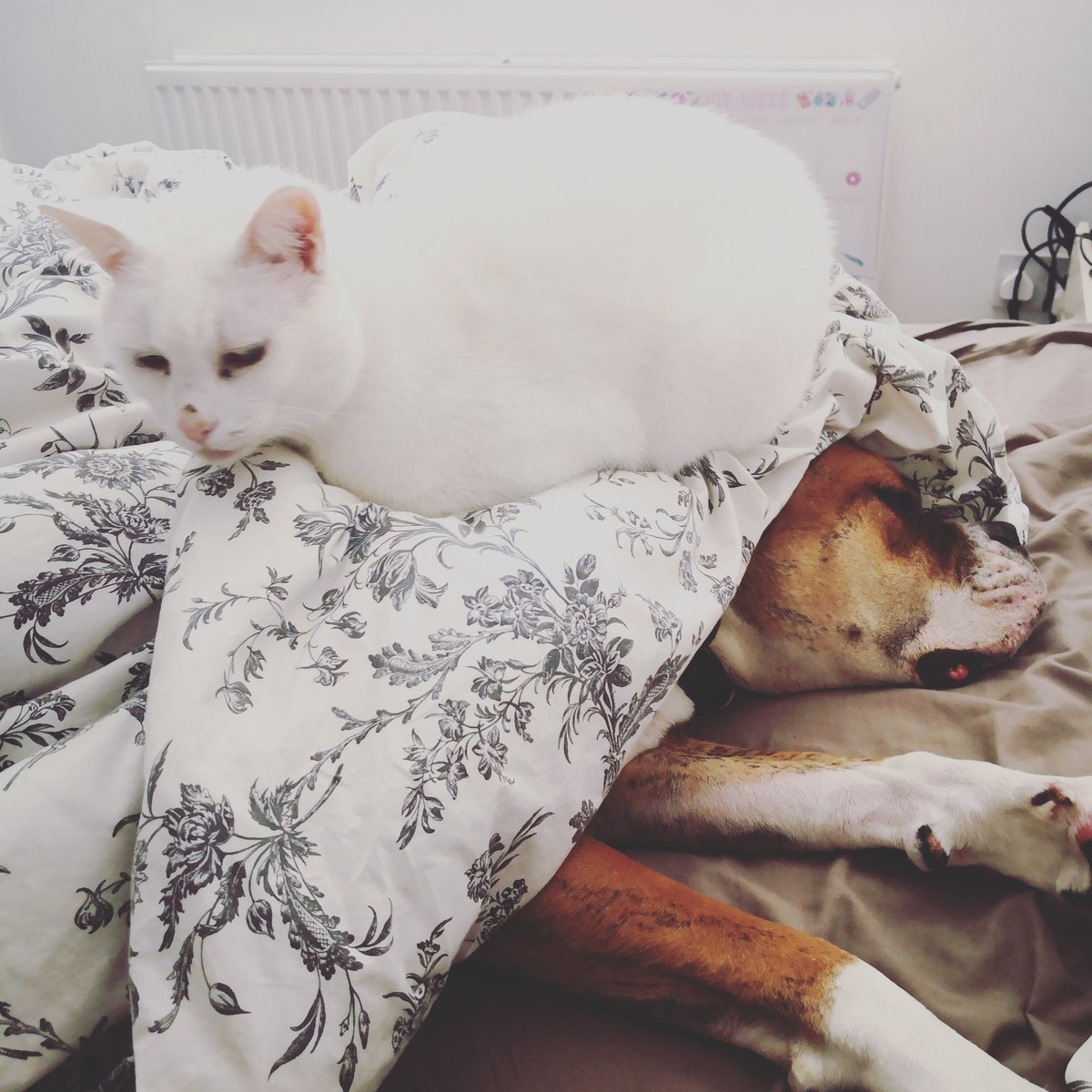 @LearNonsense Chester thinks Buster is a comfortable cushion . Happy birthday to your daughter 🎈🎈🎈