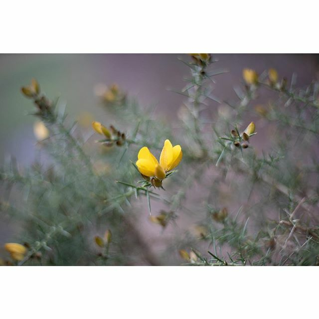 ...Yellow Flowers of the Gorse... . . Coming into bloom now but these little flowers can be seen even in the harshest winters... . . #gorseflowers alittlebeautyeveryday #themagicinnature #aseasonalshift #gloomandglow #nature_perfection #thislittlemoment … https://ift.tt/2WiTARs pic.twitter.com/nsG4I4WK55