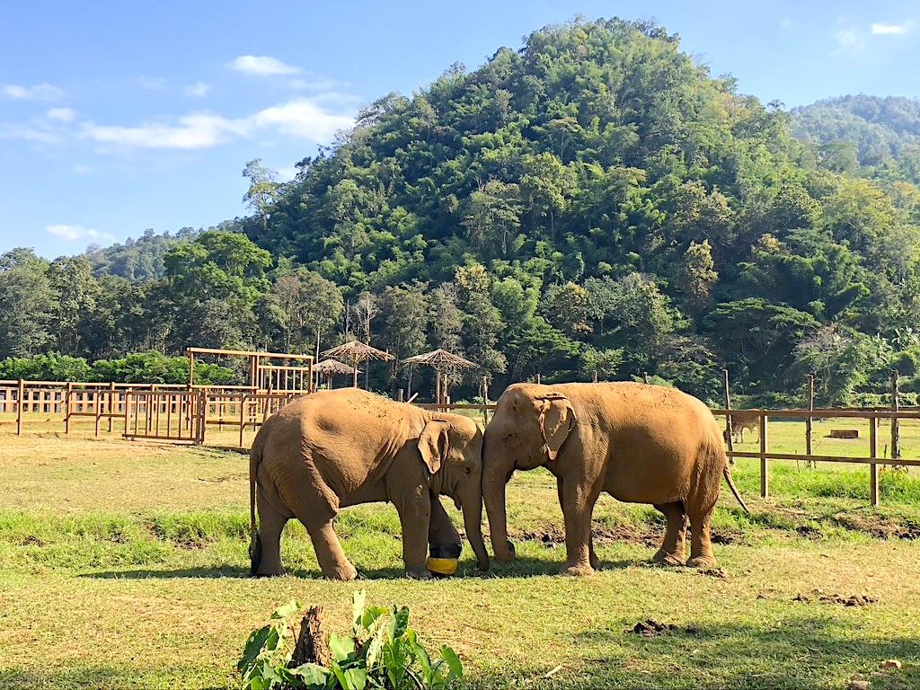 Conheça o Elephant Nature Park, um santuário de elefantes que sofreram maus tratos localizado perto da cidade de Chiang Mai, no norte da Tailândia. #viajonarios #tailandia #chiangmai #elephantnaturepark #enp #elefantes https://www.viajonarios.com.br/elephant-nature-park/…pic.twitter.com/qgsHgjo96M