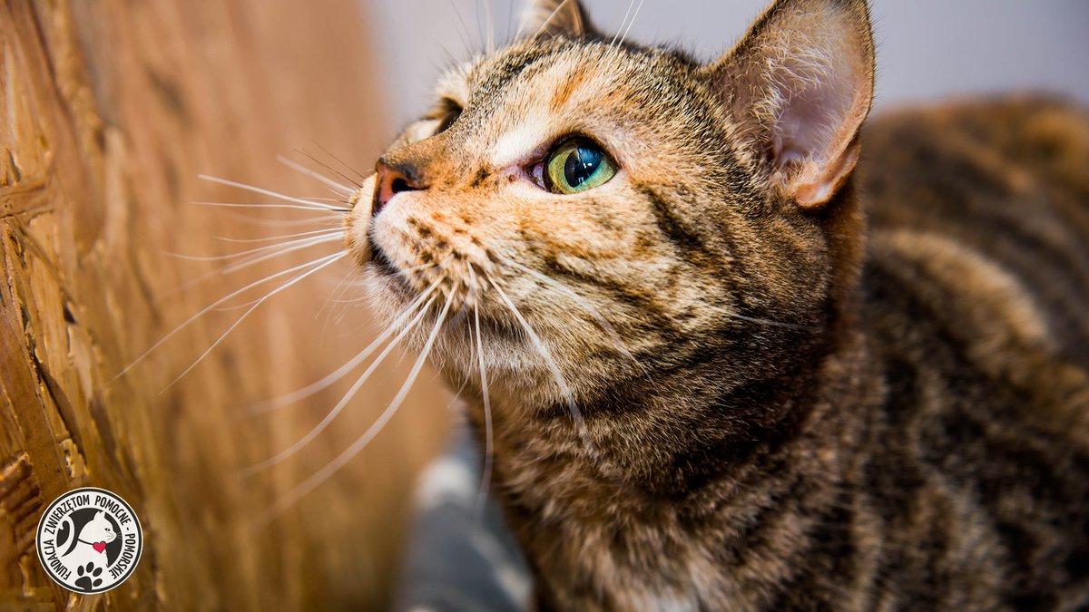 """""""Być czy nie być? Oto jest mrrrukanie""""  Pokrzywka to prawdziwa piękność Może poruszy czyjeś serduszko? Ma 3 lata i moc miłości do rozdania Szuka domu jako kot niewychodzący.  KONTAKT: 664397981 kontakt@fundacja-zwierzetom.pl #kotdoadopcji #kotszukadomu #niekupujadoptuj pic.twitter.com/chruNSvsvn"""