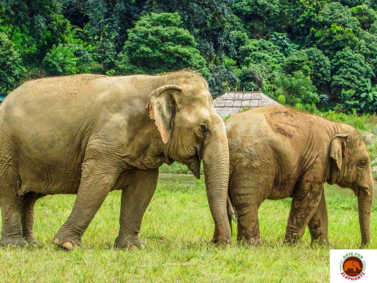 #wildlifephotography #WildlifeWednesday #elephants #ElephantNaturePark pic.twitter.com/Dnev1b4mnR