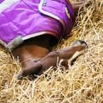 Wednesday mood... 💤Keep dreaming of the race track, little one! 🏇🏆#WarDancerFoals