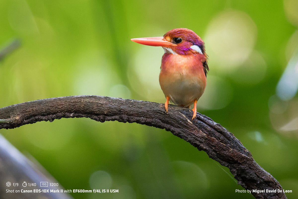 FEEL GOOD STORY AHEAD!  Ultra-Rare Dwarf Kingfisher Fledgling photographed for the very first time by Dr. Miguel David De Leon.  Checkout what gears and camera settings he used to capture this ultra-rare specie that is sadly threatened with extinction.  #TeamCanonPh https://t.co/KsHJY6EMMN