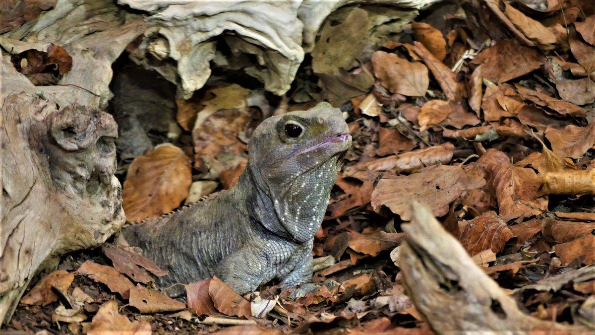 Brughagedis http://bit.ly/3deKbjG  Sommige dieren en planten doorstaan alle rampen op aarde en sterven maar niet uit.  Zijn buikribben zijn verbeend, net als die van vissen, terwijl alle (fossiele ...  #brughagedis #Sphenodonpunctatus #hagedis #lizard #lagarto #lézard #Eidechse pic.twitter.com/cwiYVnNjdV