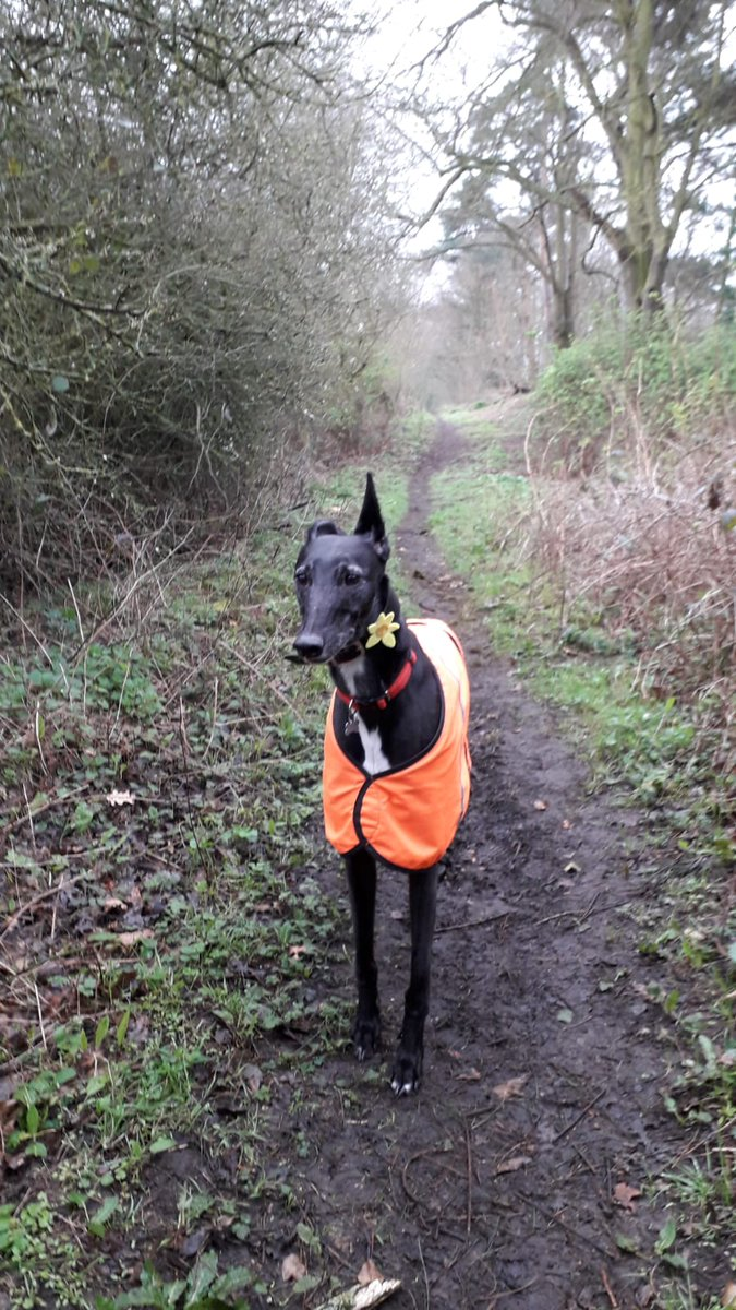Having a walk in my favourite place with my favourite #Greyhound Pearl. Wearing her #dogdaffodiltag @mariecurie #petsathome. As I fear a #lockdownuk is imminient. Could be a the last walk for a while 😕