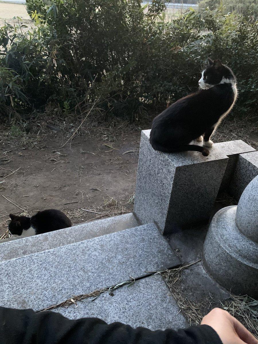 お墓にお線香をあげに行ったら、一緒に来てくれる外猫さん達🐈お墓から戻る猫達の中にモフモフさん発見!ご飯を食べに来てくれました😊モフモフさんが来たので、奮発して缶詰開けました!早く私が居なくならないと、モフモフさんは警戒してるので缶詰食べられなくなっちゃうからね💦