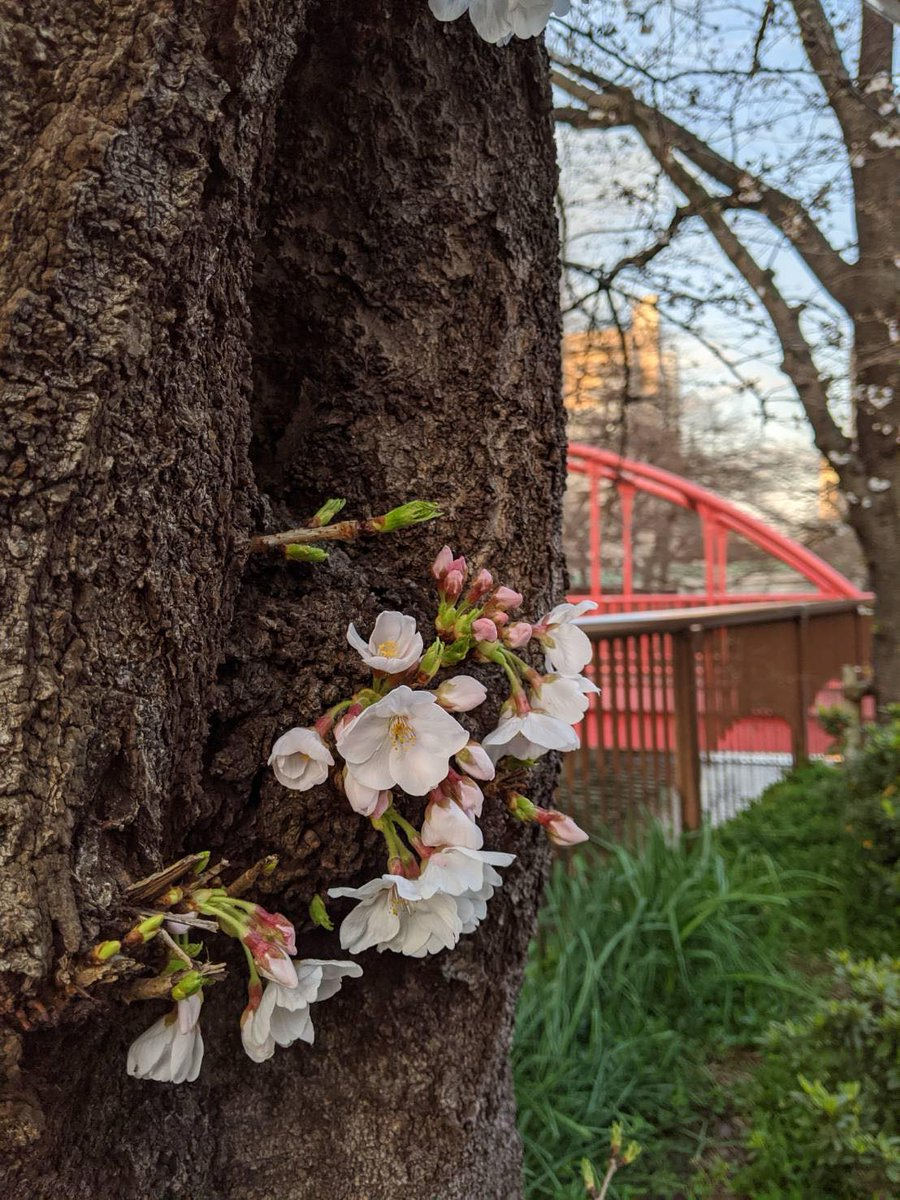 Your daily #Tokyo cherry blossom update...  #CherryBlossom #Sakura #TokyoPhoto pic.twitter.com/ghxuOWvhMM