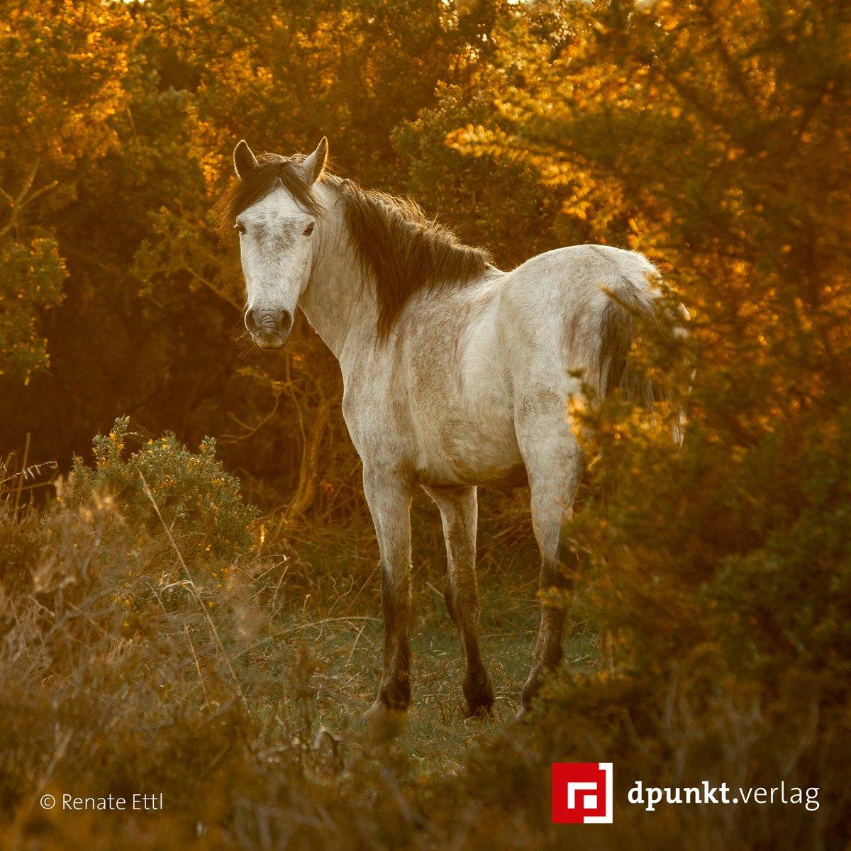Pferde, die naturnah leben können, haben eine starke Präsenz. Die Stute strotzt vor Stolz und Selbstbewusstsein, was neben der romantischen Gegenlichtsituation zu einem ausdrucksstarken Bild beiträgt. Mehr dazu in »Kreative Pferdefotografie«. #tierfotografie #lesetipppic.twitter.com/h6zVBGV4wh