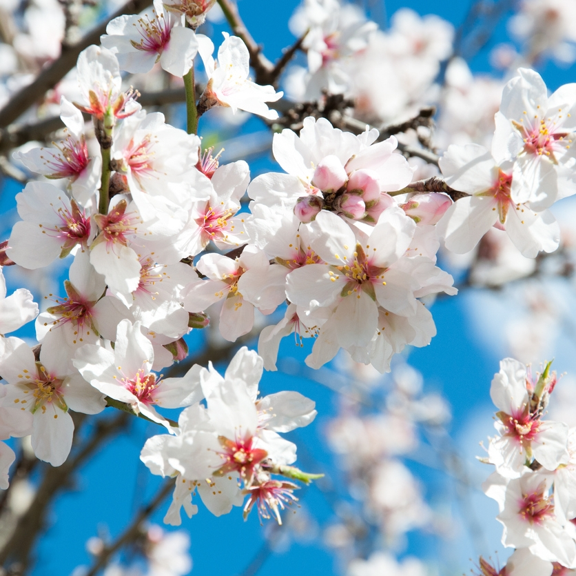 Did you know that the #almond tree is the first plant to blossom after winter? These #blooms will become almonds, rich in vitamin E essential for healthy skin. . . #almondtree #naturalingredients #organicbeautyproducts #vitaminE #naturalbeauty #nabilakcosmetics #cleanbeautypic.twitter.com/W8WI0LAvYt