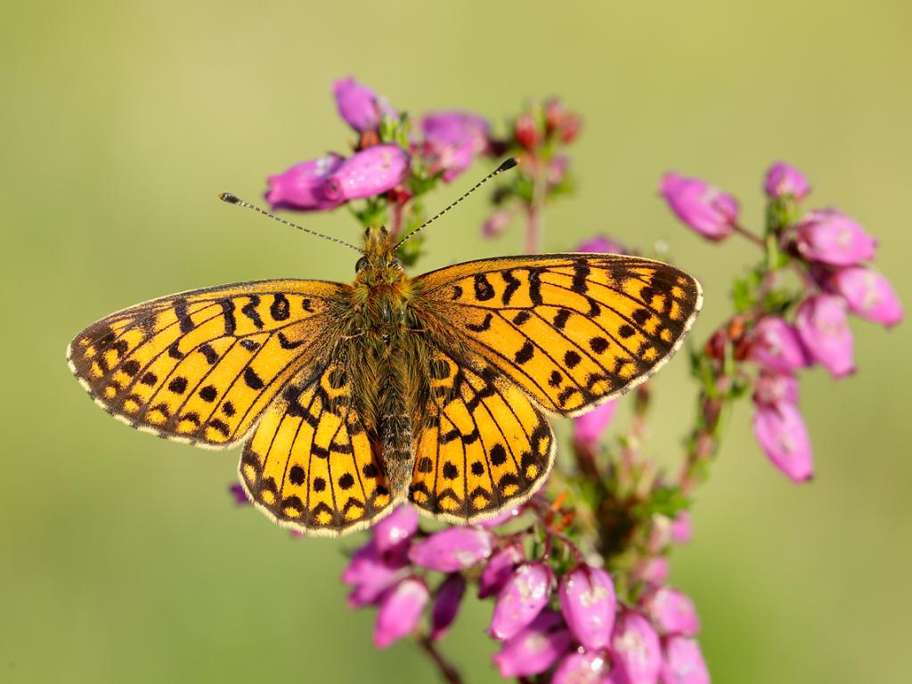 #Smallpearlborderedfritillary butterfly one of the species likely to benefit from creation of new #PurbeckHeaths nature reserve in #Dorset, 8000 acres large with 450 rare or threatened species. See #TheTimes page 23 on 18 March 2020 https://t.co/vWF23GQMLA