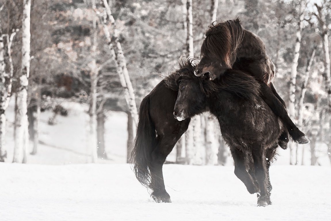 They threw themselves at each other viciously, each one trying to gain an advantage over the other one...Enjoy more at https://www.ejazkhanearth.com/gallery/product/horses-in-snow-picture/… - #horsesplanet #horselove #horselovers #gallop #equestrians #equine #horsephoto #horsephotography #equinephoto #horsepicture #fineartspic.twitter.com/5w58WyGpDX