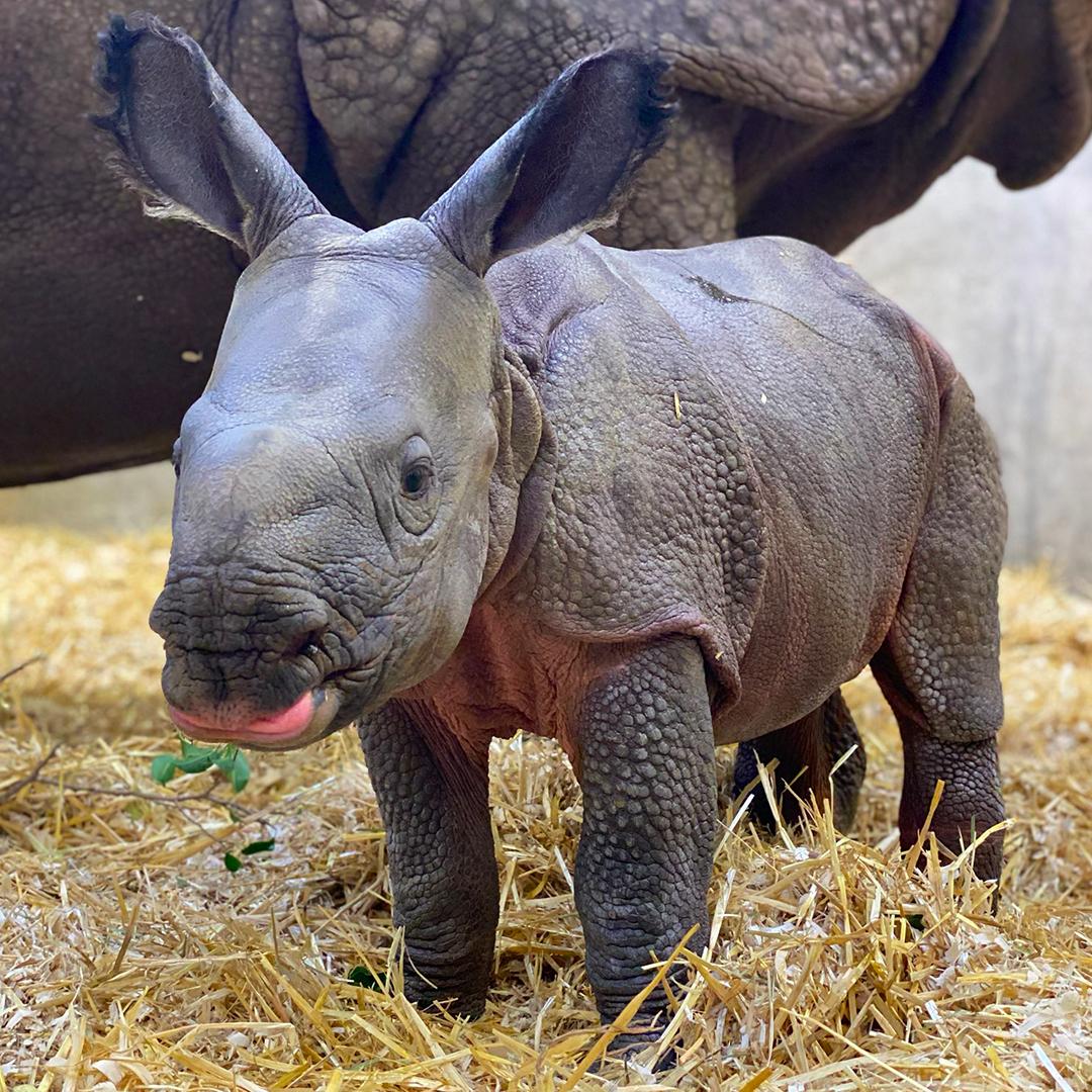 نتيجة بحث الصور عن Rhino and its young