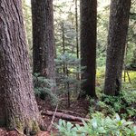 Image for the Tweet beginning: Old-growth stands on EFM's Henry