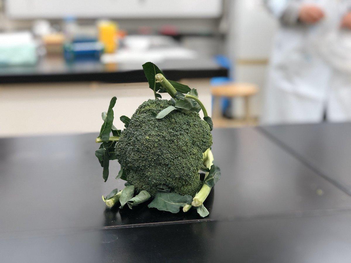 ブロッコリー dna の 抽出