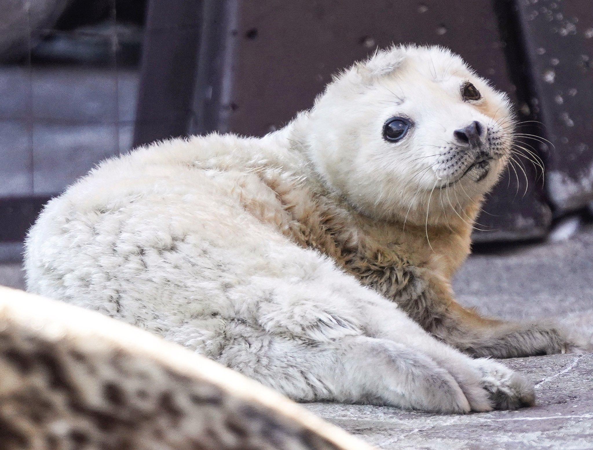旭山動物園で生まれたアザラシの赤ちゃんがふわふわで可愛すぎる