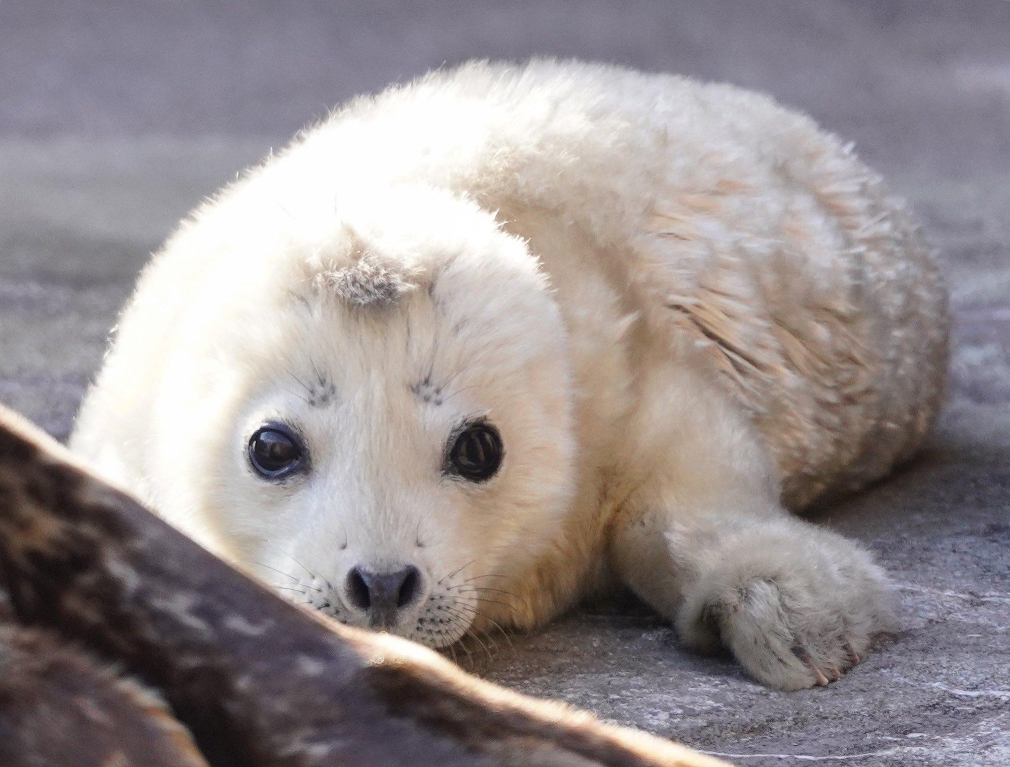 旭山動物園のアザラシの赤ちゃん。本日、誕生したそうです。お母さんが赤ちゃんを守ろうとして鳥を威嚇し、それを追い払ってあげようとした飼育員さんも威嚇してました。 #アザラシ #赤ちゃん #旭山動物園