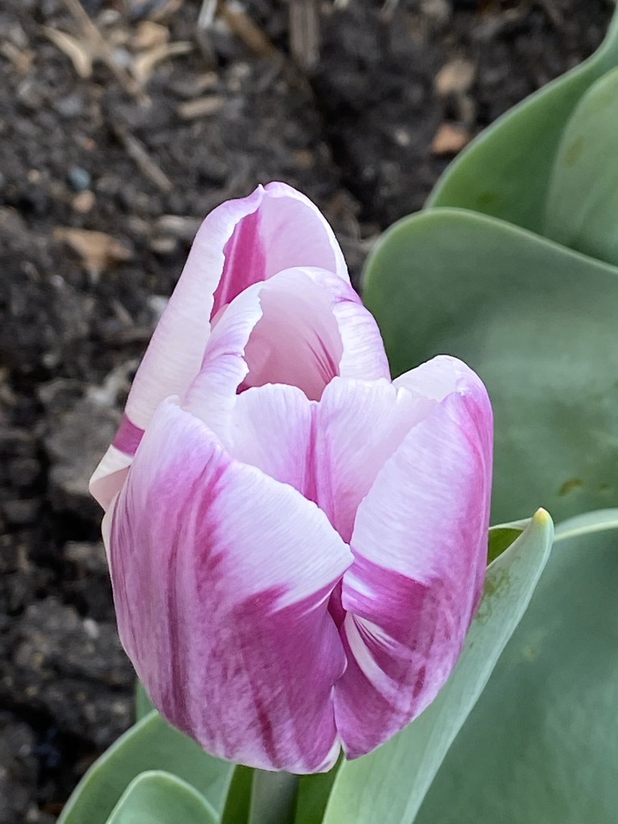 Fourth graders- Remember when you planted tulip bulbs in November?  Look what you grew.  You helped make something beautiful!  <a target='_blank' href='http://twitter.com/ArnettMs'>@ArnettMs</a> <a target='_blank' href='http://twitter.com/MsJohnson4th'>@MsJohnson4th</a> <a target='_blank' href='https://t.co/Rrp8JHgt7O'>https://t.co/Rrp8JHgt7O</a>