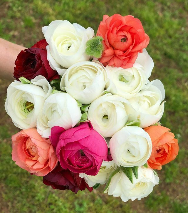 1818 Farms On Twitter Harvesting Our First Ranunculus Of The