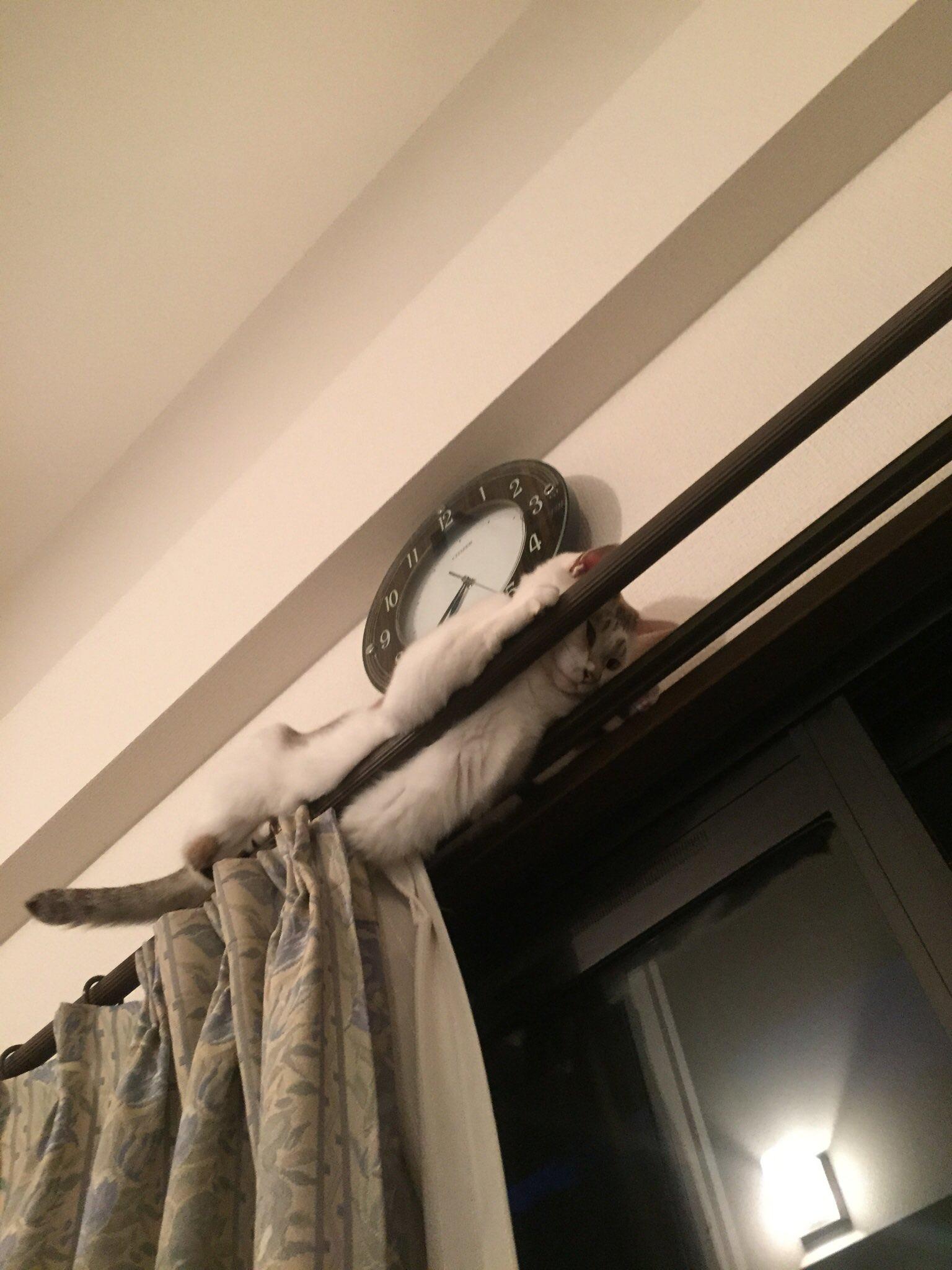 カーテンレールから降りられなくなっている猫www助けてほしい・・・