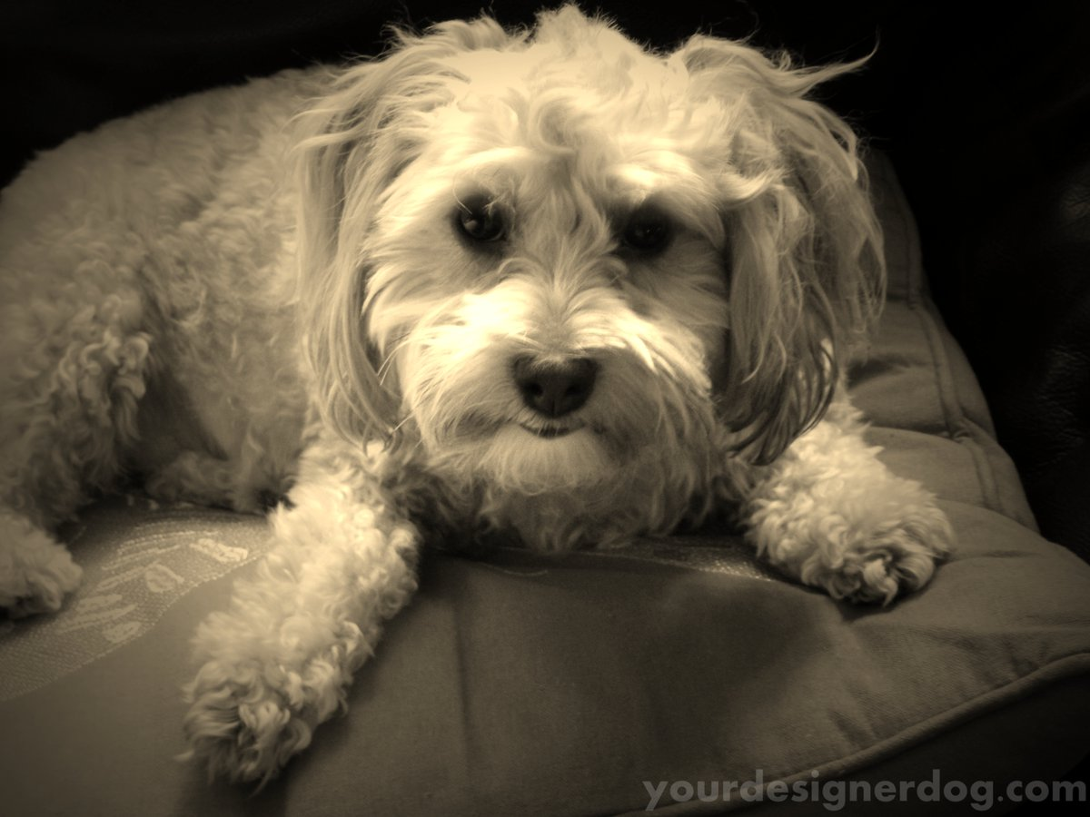 Groomed – Sepia Saturday #13 https://is.gd/CUppwI #blog #cute #designerdogs #dogs #groomer #haircut #love #pets #photographypic.twitter.com/b1iAehbVCR