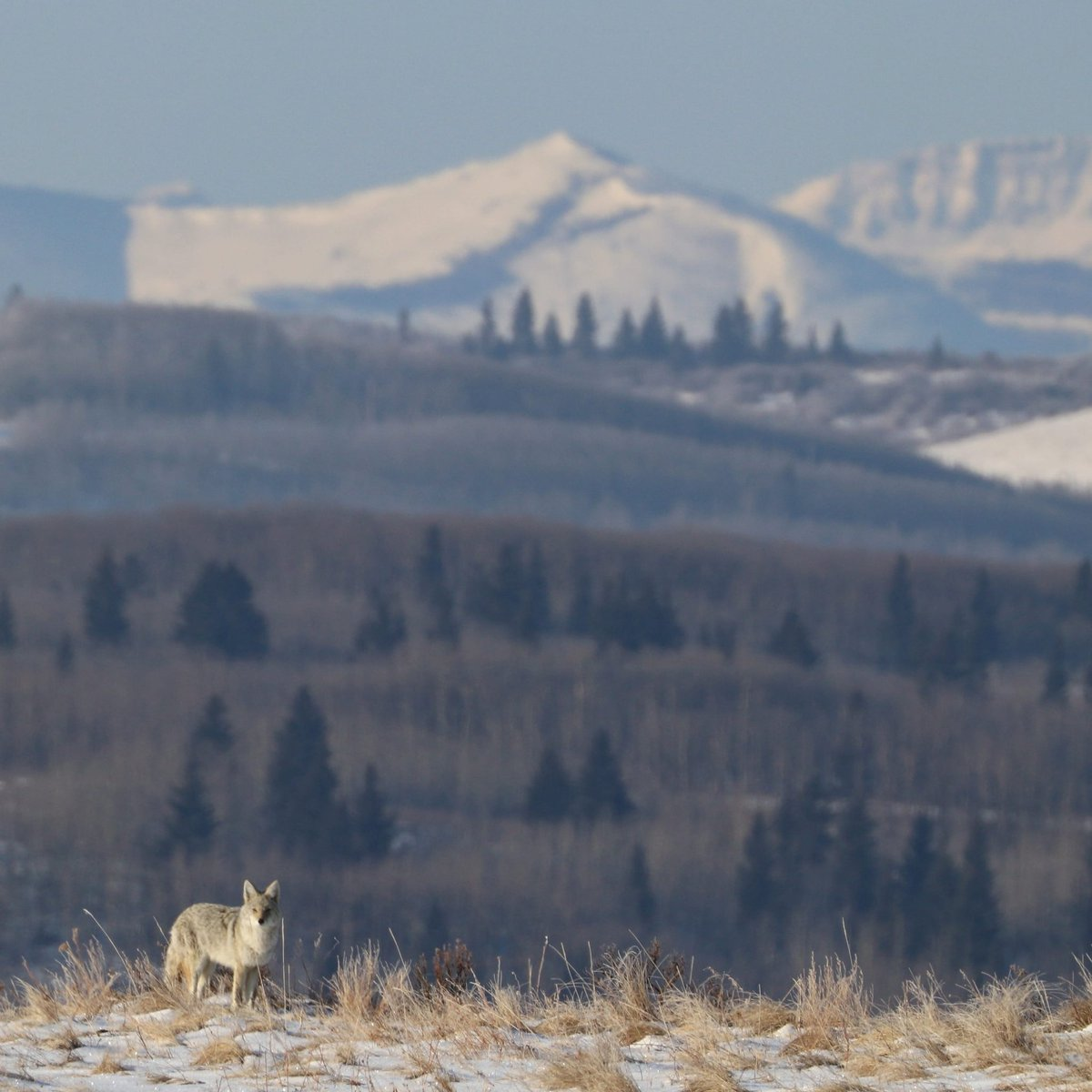 A #coyote with a view! ✨ #wildlife #songdog
