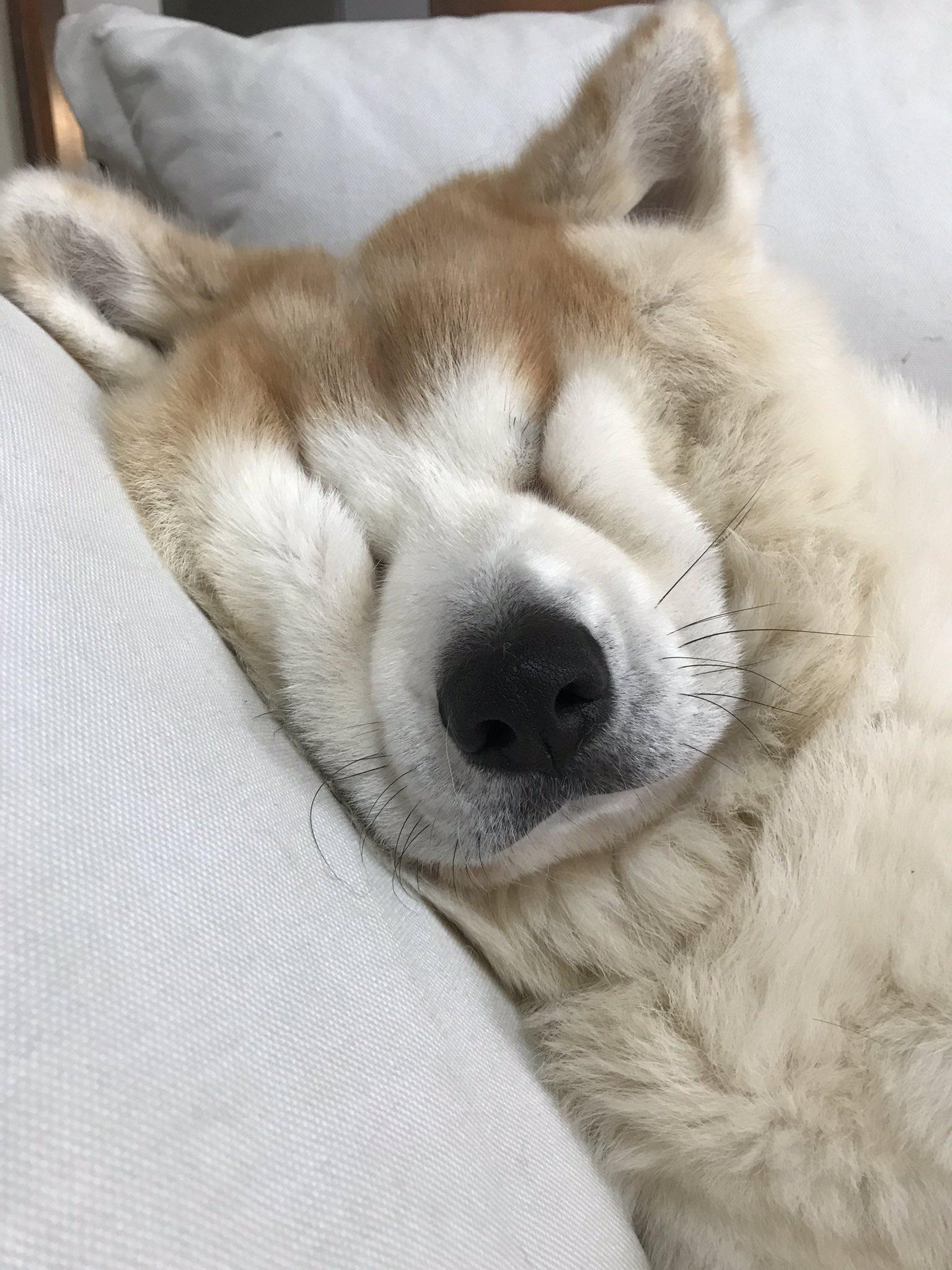 じんの寝顔いつもこんな顔になってる😂#秋田犬 #あきたいぬ #犬の寝顔