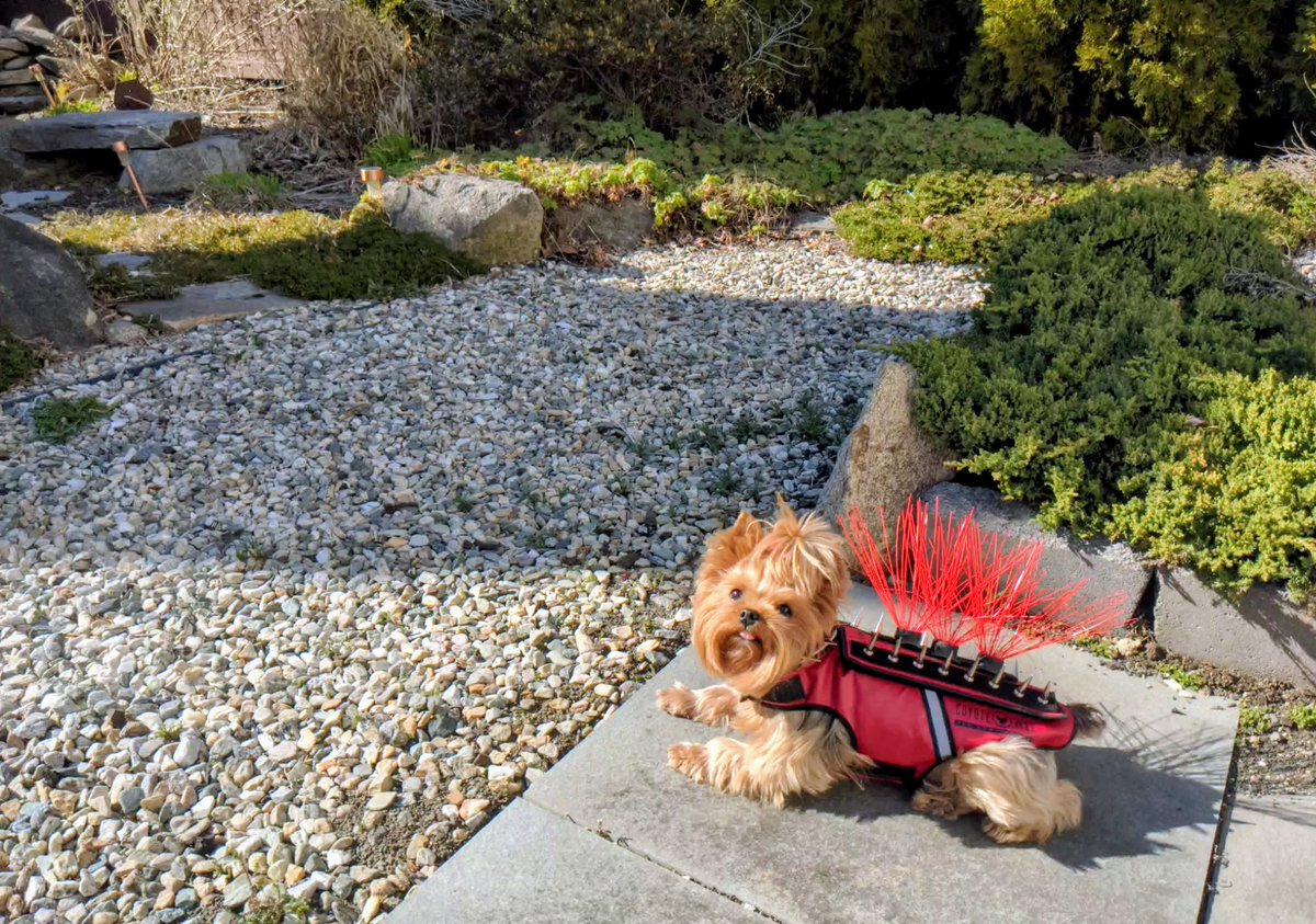 Boo guards our backyard patio in her anti-hawk @CoyoteVest #StayAtHome #Yorkie #yorkshireterrier pic.twitter.com/vw8fGS6M6M