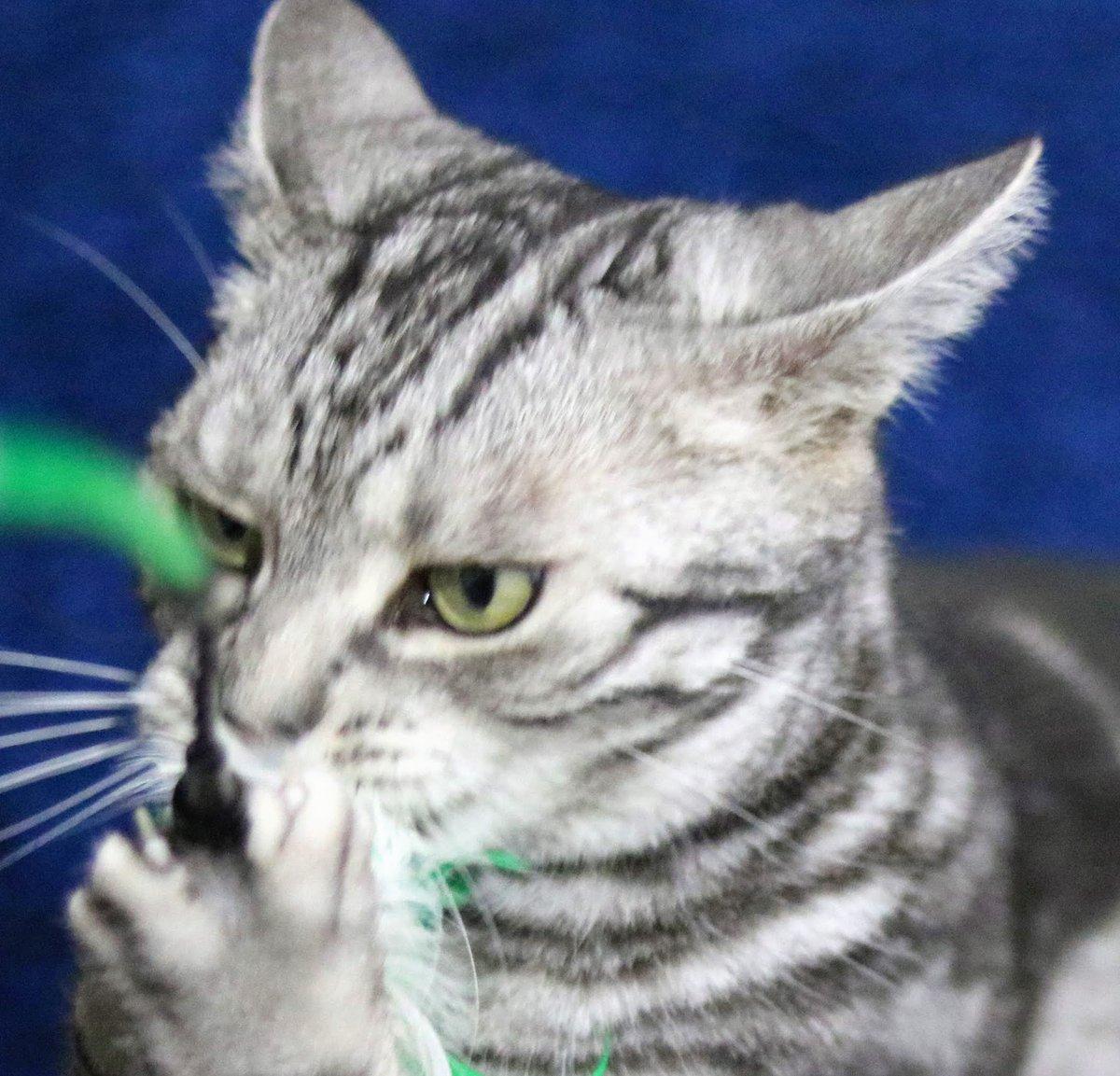 おはようございます  ここにもいました メフィラス星人  #猫カフェ #ニャンタジスタ #マイネル #アメリカンショートヘア #メフィラス星人 #スタッフも頑張ります #いっぱい遊びます #大阪 #八尾市 #近鉄河内山本駅すぐ #猫好きさんと繋がりたいpic.twitter.com/4t61XjBLhm