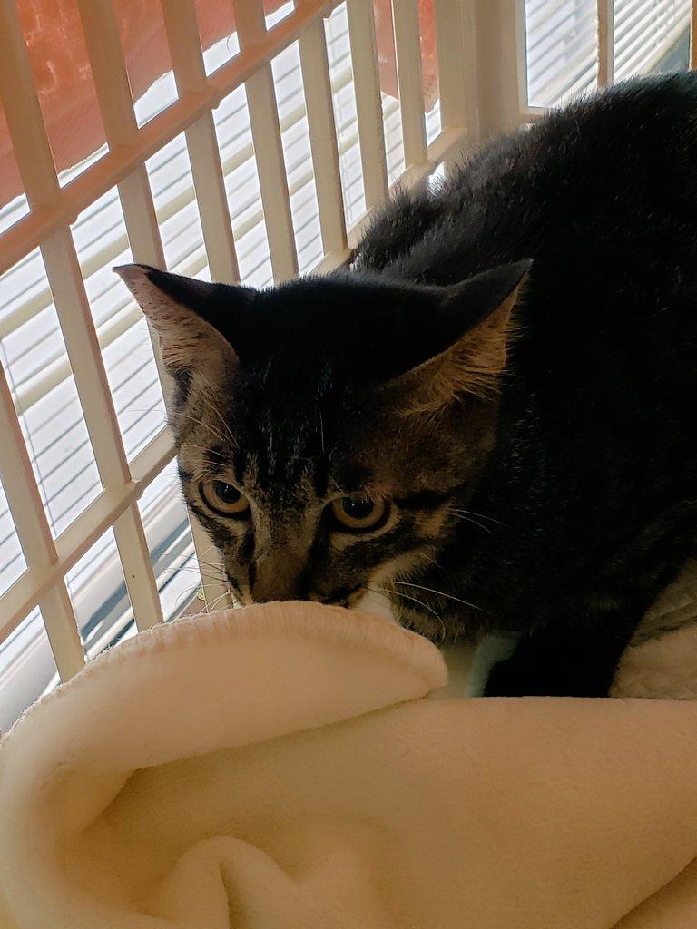 去年飼い猫が脱走し捕獲器を仕掛けたおりに真っ先に捕獲された子猫が譲渡会デビューしました、巻き込み事故の様な事になったので早く幸せになって貰うことを願います #保護猫 #八尾市 pic.twitter.com/3nZa2Q1xtK