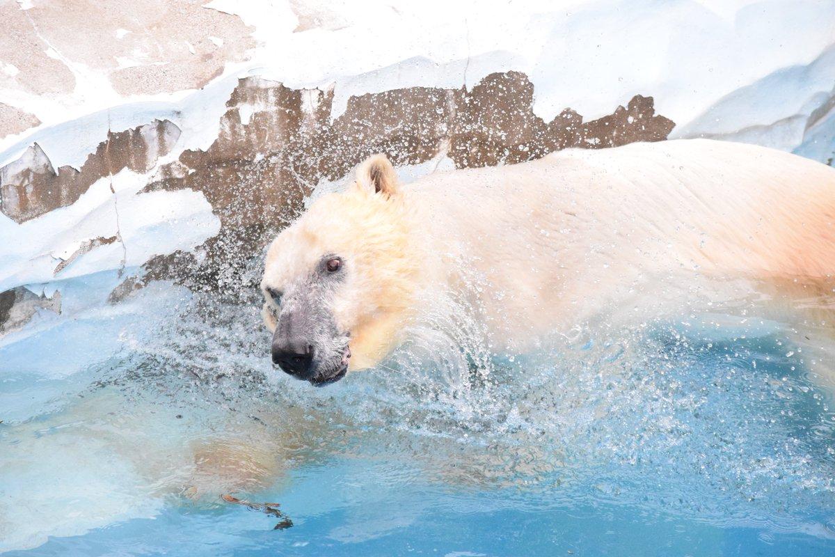 3月22日、久しぶりにプールで泳いでいました!!気温が高いため雨でも気にせず遊んでいました!!寒い=快適ではないようで気温、水温が高い方がよくプールに入ります。暖かくなり段々と元気が戻ってきているようで一安心です(*^^*)#ホッキョクグマ #今日のカナさん #水泳 #のんびり #高齢 #126日ぶりpic.twitter.com/hnSyADatBx