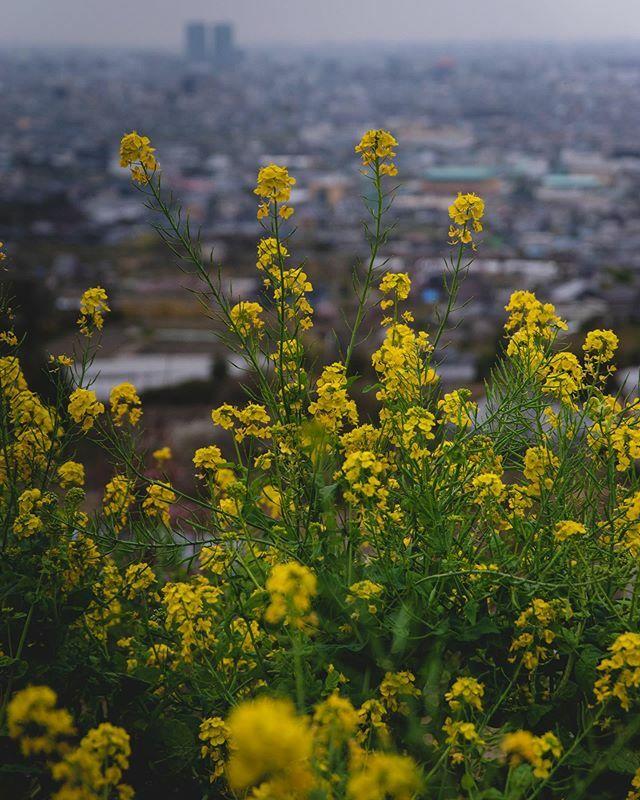 Rape flower  #rapeflower #rapeblossoms #菜の花 #八尾 #玉祖神社 https://ift.tt/33Fe8Fipic.twitter.com/erKwdvhFAm