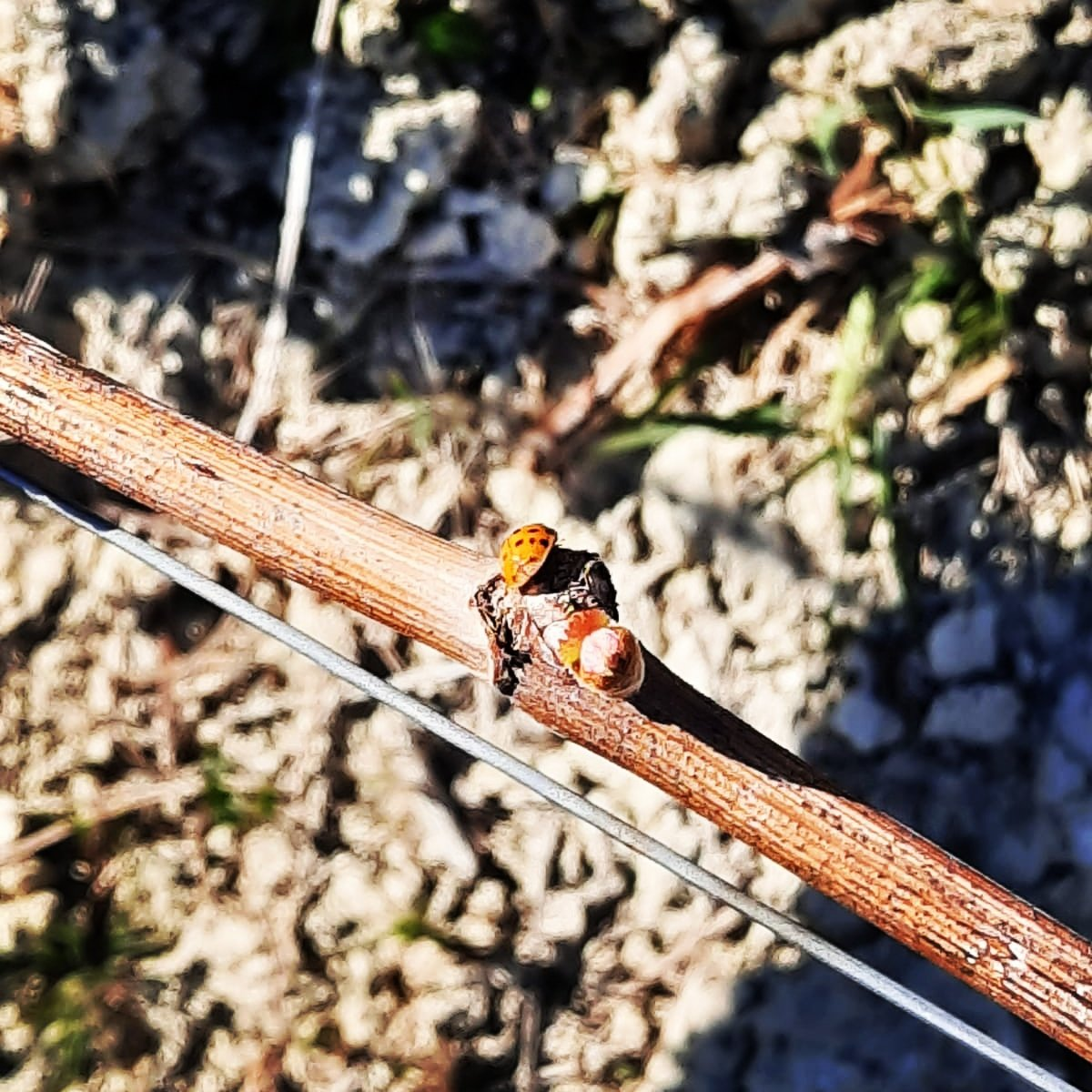 S P R I N G  T I M E   In #springtime, #life explodes in the #vineyards  .  #cascinachicco #roero #langhe #natura #nature #coccinella #ladybug #piedmont #greenexperience #happiness #felicità pic.twitter.com/0iYbhHSnuJ