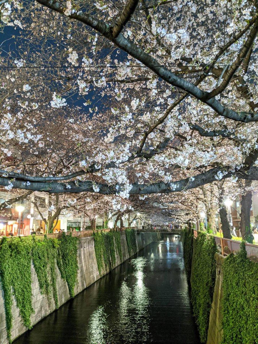 Your Tokyo cherry blossom update, courtesy of #InsideJapan's Mark...  #CherryBlossomSeason #Sakura #TokyoPhoto pic.twitter.com/Kj70l60xQS