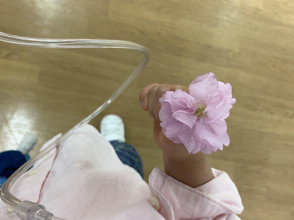 娘②の外来、入り口検温や其れなり緊張感はあっても当の主治医は「娘②ちゃん元気か」普段の平静さ。聴診器がこそばいウフフと笑う娘②に「おかしいか」1ミリ位微笑んでこの混乱の中普通を保つベテランの底力。そして「センセアゲル」と拾って行った桜の花は潰れてしまったので写真で。
