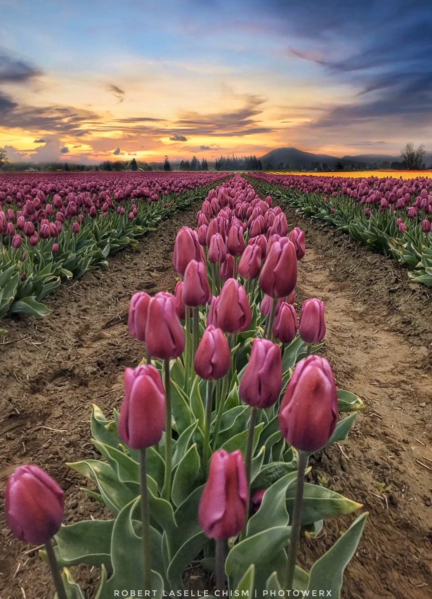 """""""Happiness held is the seed; Happiness shared is the flower.""""  – John Harrigan #skagitvalley2019 #tulips #PNW #washingtonstate #ThePhotoHour #pnwphotography #sunrise #landscapephotography #art #happiness #spring #flowers #photographypic.twitter.com/KnW79lDLEs"""