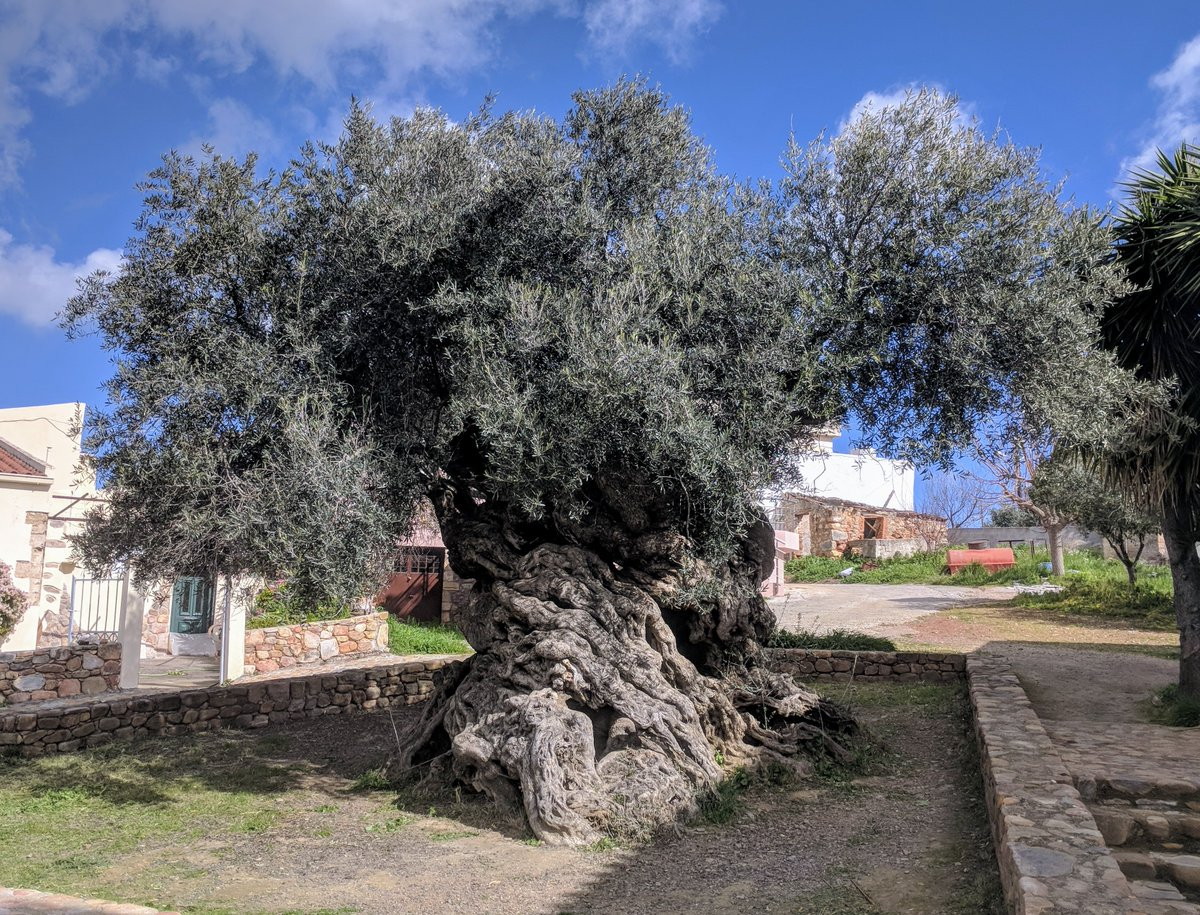 The oldest olive tree in the world located on the island of Crete is estimated to be more than 3,000 years old and this tree still produces olives. Maybe this tree met Homer,Plato or Pericles   #Greece #art #travel #love #socialmedia #marketing pic.twitter.com/MhFaqXebt5