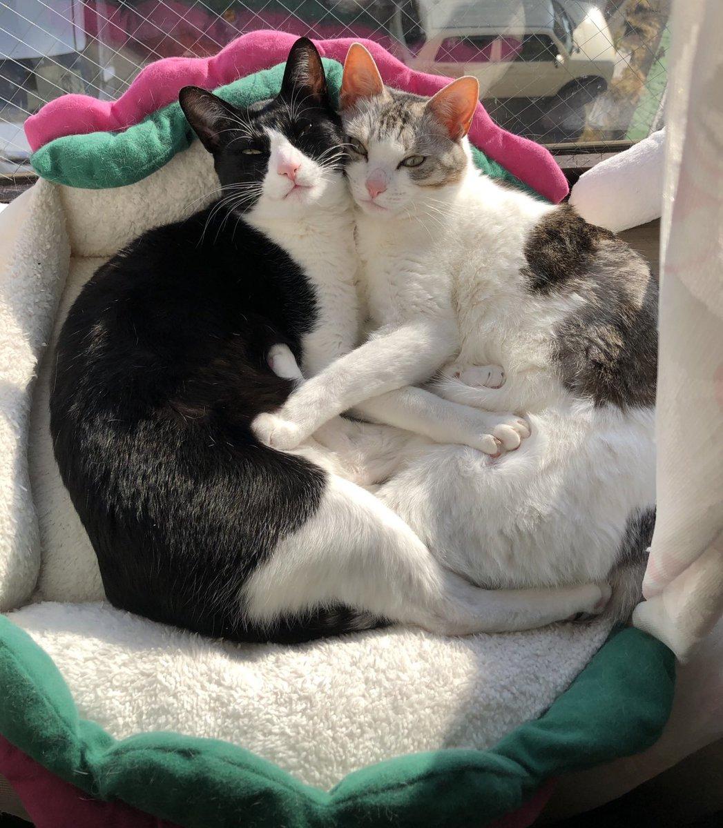 お互いが居ればそれ以外いらないの。#猫 #大豆姉妹