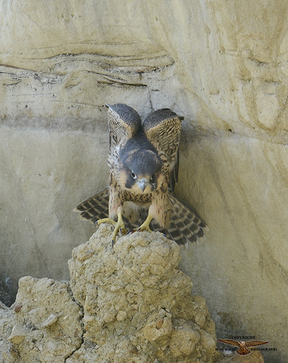 #Peregrine #Falcon #juvenile...Looks like I'll #miss out on seeing many #young uns this #year. pic.twitter.com/gQemsJGY8d