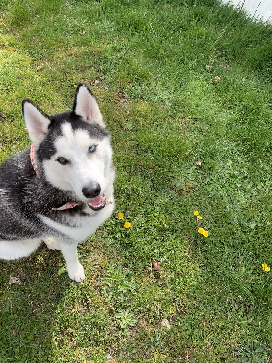 All the walks. Probably for more for my hoomans than me. But I'm not complaining #dogsoftwitter #husky #siberianhusky #pnw #pnwdogs pic.twitter.com/O9si6F7HEe