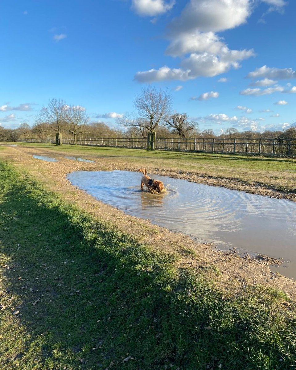 Chilli has yet to meet a puddle she doesn't love.  #labradoodle #AmWriting #writingcommunity  http:// ow.ly/zKcN50z5aIR     <br>http://pic.twitter.com/7EILWGAIkt