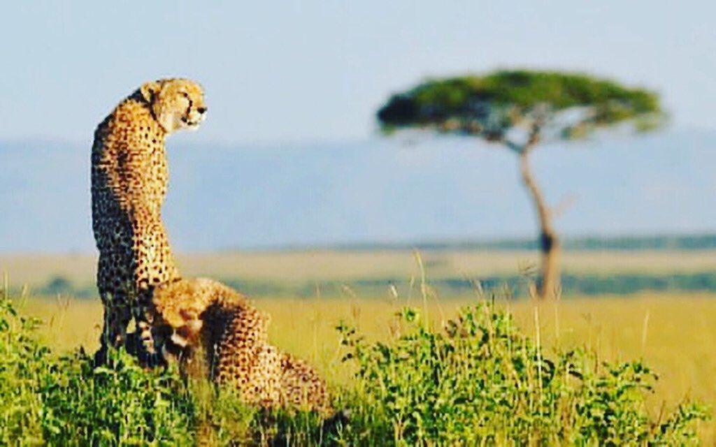 Kenya is the undisputed home for safari, the more reason you should grab your friends for an adventure of a lifetime #magicalkenya #kenya #tembeakenya #igkenya #igerskenya #nairobikenya #iamnairobian #whyilovekenya #publicity #madeinkenya #igersnairobi #visitkenyapic.twitter.com/R0pMWQRA6V