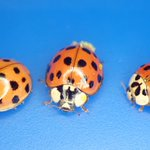 Image for the Tweet beginning: These ladybugs all appeared (hatched?)