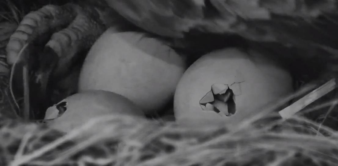 @exploreorg   2 hatches in progress at Decorah eagles nest!!!!  pic.twitter.com/8UCN2HnPz9