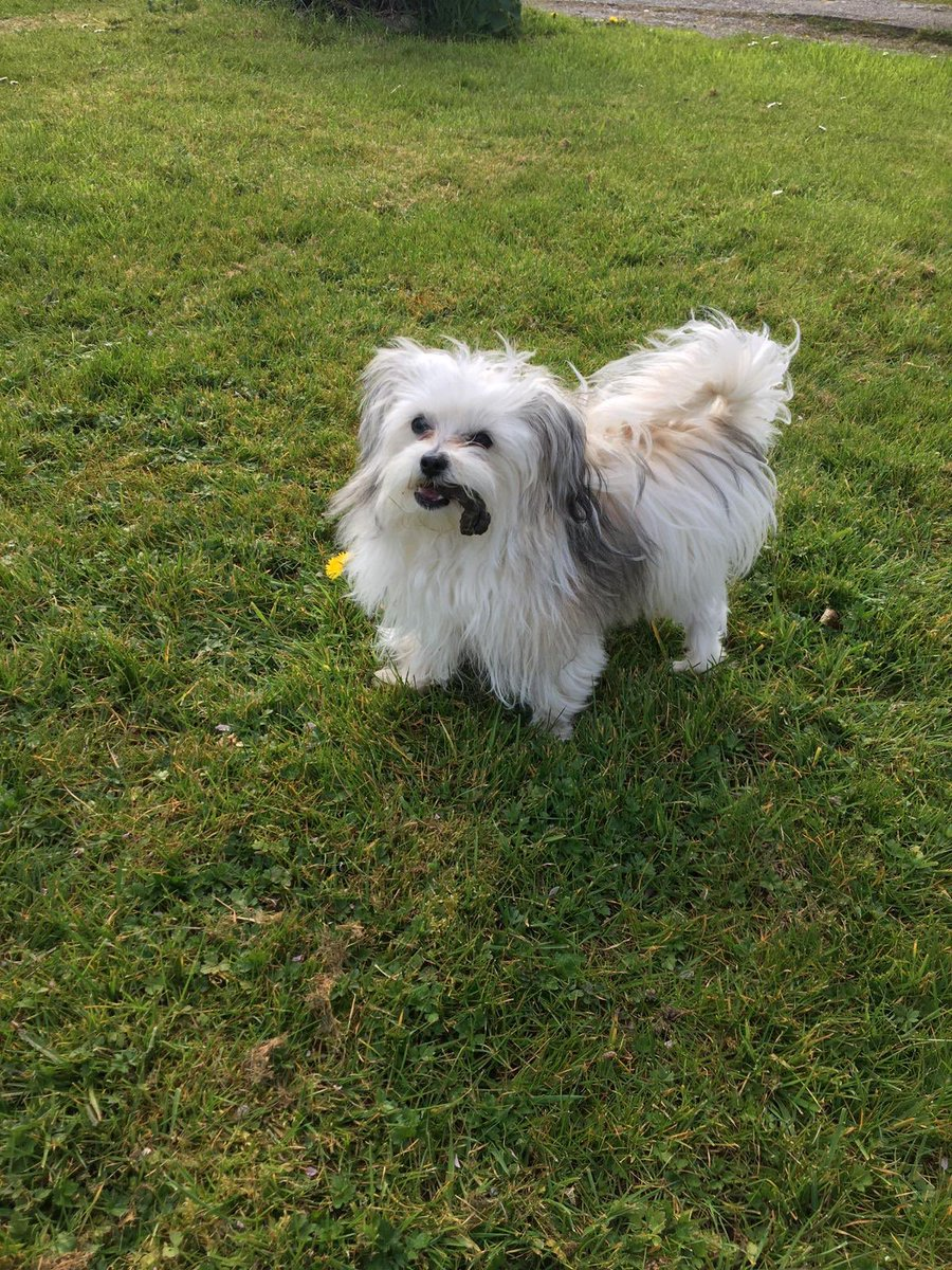 Anyone recognise this very cute dog It has adopted my son on his walk today and followed him around the Lon Lwyd /Bull Inn Pentraeth area Now outside the house having a bowl of water ! please circulate   #Angleseypic.twitter.com/PFKPDtZWss